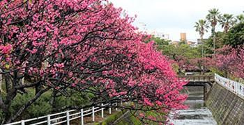 【沖繩旅遊】與儀公園。暖冬賞河櫻之沖繩市區就能賞櫻花!
