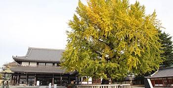 【京都旅遊】西本願寺|黃金元氣玉,超巨大銀杏!