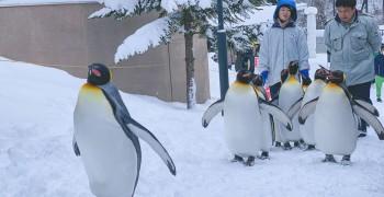 【北海道旅遊】旭山動物園|企鵝散步開放時間、交通攻略